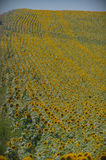 Field of sunflowers in Provence, France Stock Photography