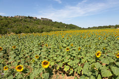 Field of sunflowers in Provence - Luberon - France Stock Image