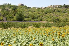Field of sunflowers in Provence - Luberon - France Stock Photos
