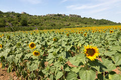 Field of sunflowers in Provence - Luberon - France Stock Photo