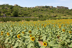 Field of sunflowers in Provence - Luberon - France Royalty Free Stock Photos
