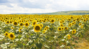 Field with sunflowers Royalty Free Stock Photography