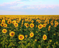 Field of sunflowers. Rural landscape, field of sunflowers at sunrise Stock Image