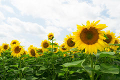 Field of sunflowers in Russia Royalty Free Stock Image