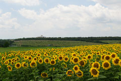 Field of sunflowers in Russia Stock Image