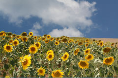 SUNFLOWERS IN A LARGE MOUNTAIN SIDE FIELD. A field of sunflowers on the side of a hill in Tuscany, Italy Royalty Free Stock Image