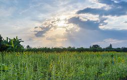 Field of sunflowers with sky Stock Photography