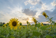 Field of sunflowers with sky Royalty Free Stock Photos