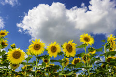 Field of sunflowers in summer stock photos