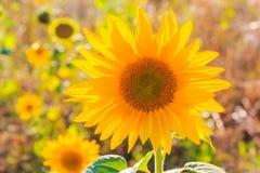 Field sunflowers summer closeup beautiful yellow flower sun Royalty Free Stock Photography