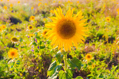 Field sunflowers summer closeup beautiful yellow flower sun Stock Photo