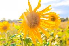 Field sunflowers summer closeup beautiful yellow flower sun Stock Image