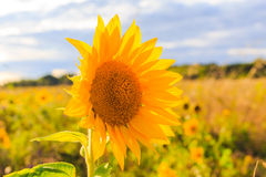 Field sunflowers summer closeup beautiful yellow flower sun Stock Image