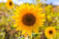 Field sunflowers summer closeup beautiful yellow flower sun Royalty Free Stock Photos