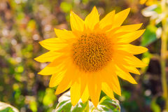 Field sunflowers summer closeup beautiful yellow flower sun Royalty Free Stock Photo