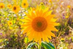 Field sunflowers summer closeup beautiful yellow flower sun Royalty Free Stock Image