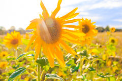Field sunflowers summer closeup beautiful yellow flower sun. Field of sunflowers in summer: closeup of beautiful yellow flower in the sun royalty free stock image