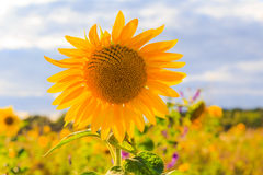 Field sunflowers summer closeup beautiful yellow flower sun Stock Photography