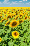 Field of sunflowers in the summer day. On a background of blue sky Royalty Free Stock Photos