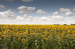 Field of sunflowers. Summer landscape with a field of sunflowers Royalty Free Stock Images