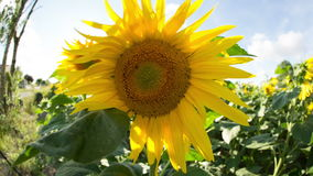 Field of sunflowers in summer Royalty Free Stock Image
