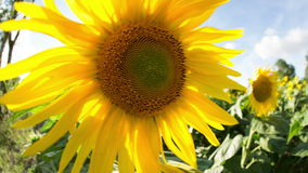 Field of sunflowers in summer Stock Images
