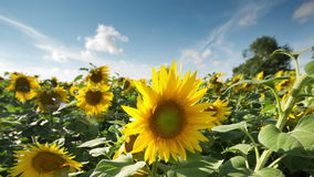 Field of sunflowers in summer Royalty Free Stock Photos