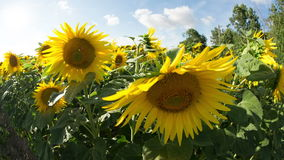 Field of sunflowers in summer stock video footage