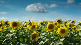 Field of sunflowers in summer stock footage