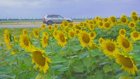 Field of sunflowers against the background of the road. Field Sunflowers on Summer near highway with passing cars and a rainbow in the background stock video footage