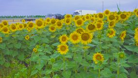 Field of sunflowers against the background of the road. Field Sunflowers on Summer near highway with passing cars and a rainbow in the background stock footage