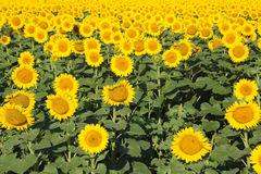 Field of sunflowers in the sun. Summer landscape Stock Image