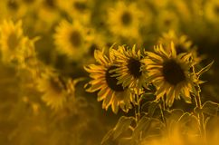Field of sunflowers in the sun. stock image