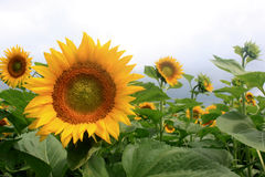 Field of sunflowers. Royalty Free Stock Photos