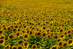 Field of Sunflowers. Sunflower field taken in Kennett Square, PA Stock Photo