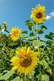 Field with sunflowers. On a sunny day Stock Image
