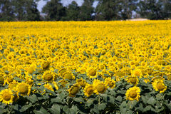 Field of sunflowers in a sunny day Stock Images