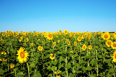 Field of sunflowers in sunny summers day Stock Photos