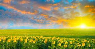 Field of sunflowers. And sunrise Stock Images
