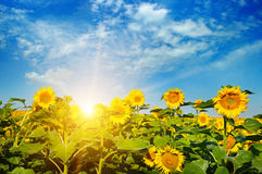 Field of sunflowers and sunrise. Blossoming field of sunflowers and sun rise Royalty Free Stock Image