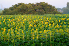 Field of sunflowers at sunrise. Summer Stock Photo