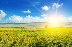 Field of sunflowers and sunrise. Field of sunflowers and sun rise Stock Photo