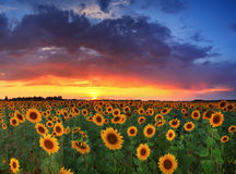 Field of sunflowers on the sunset Stock Photos
