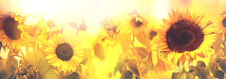 Field of sunflowers. At the sunset Royalty Free Stock Image