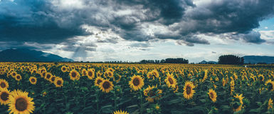 A field of sunflowers at sunset Stock Image