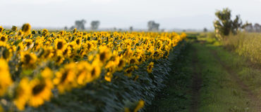 A field of sunflowers at sunset Stock Photo