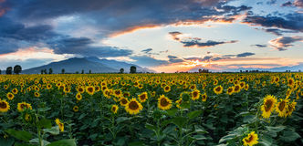 A field of sunflowers at sunset Stock Photos