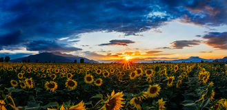 A field of sunflowers at sunset Royalty Free Stock Image