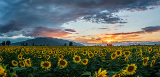 A field of sunflowers at sunset Royalty Free Stock Images