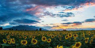 A field of sunflowers at sunset Royalty Free Stock Photography